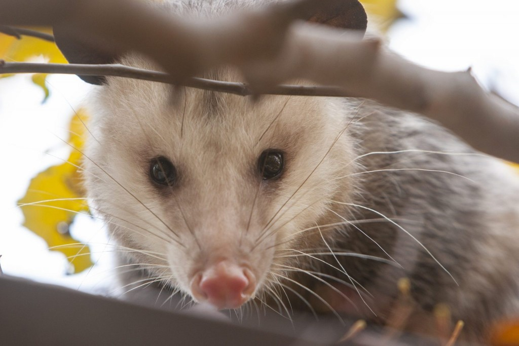 Possum Getty 2