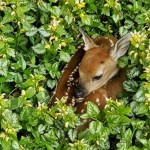 Fawn Nestled In 2
