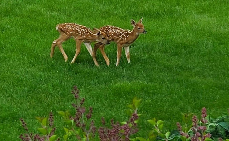 Fawns Two 2