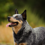 A Dog Vanished After Being Ejected From A Vehicle. It Was Found 2 Days Later Herding Sheep.