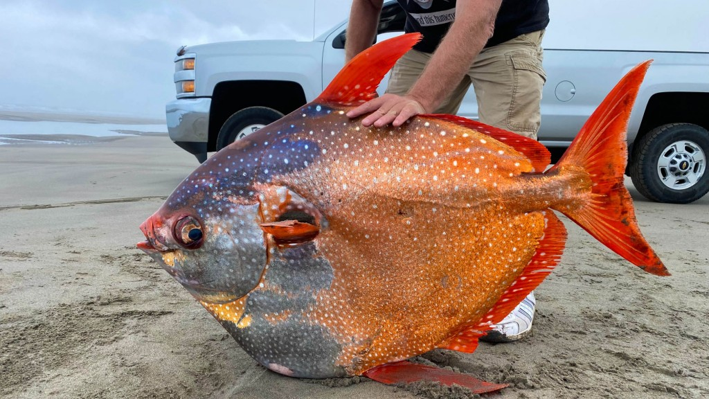 100 Pound Tropical Fish Discovered On A Beach In Oregon