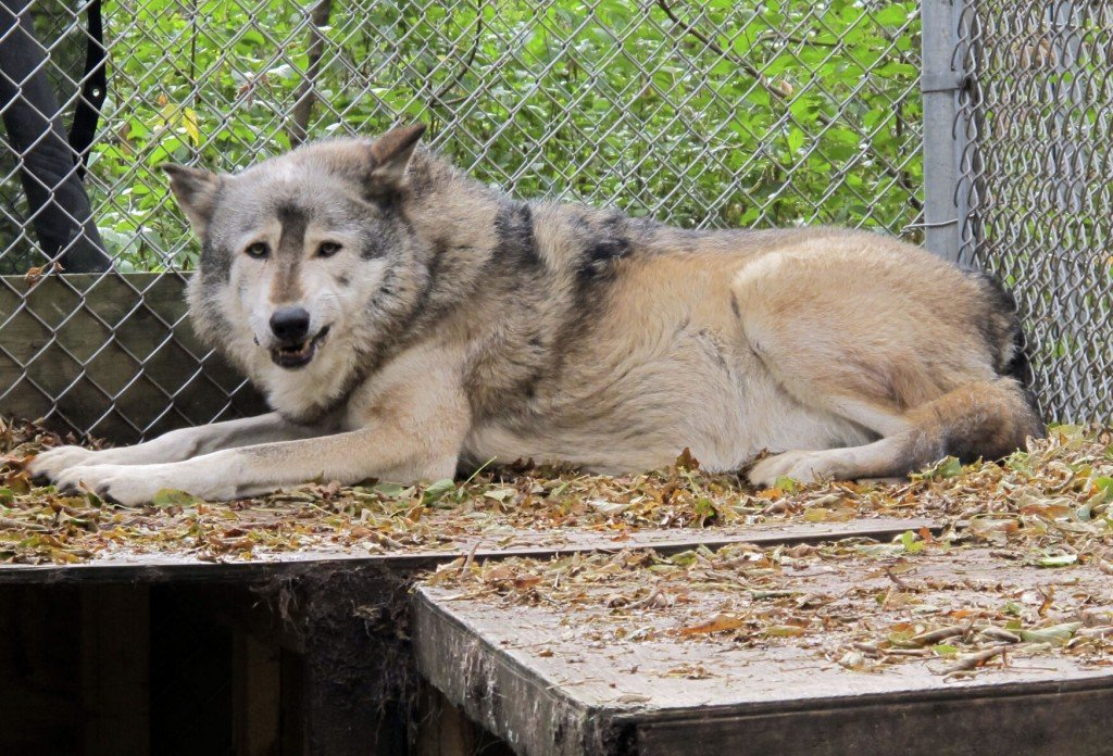 Animal Rights Groups Plan Suit To Stop Wisconsin Wolf Hunt