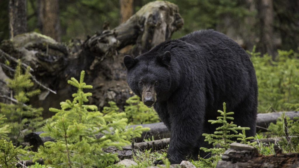 Wisconsin Man Pleads Guilty To Illegally Transporting Bear
