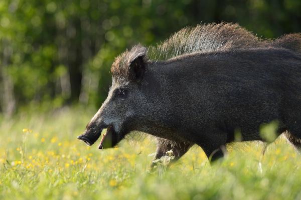 Wild Boar Walking In The Meadow