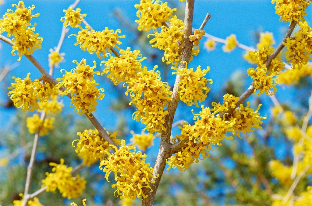 13 Vernal Witch Hazel Flowers