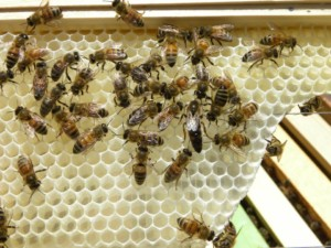 Introduction to Beekeeping @ Living Land Permaculture Homestead | Barrington | New Hampshire | United States