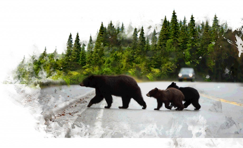 Black Bear With Cubs Crossing The Road