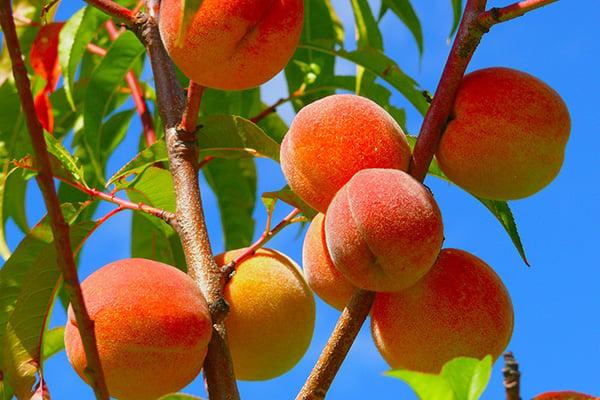 Peaches600x400