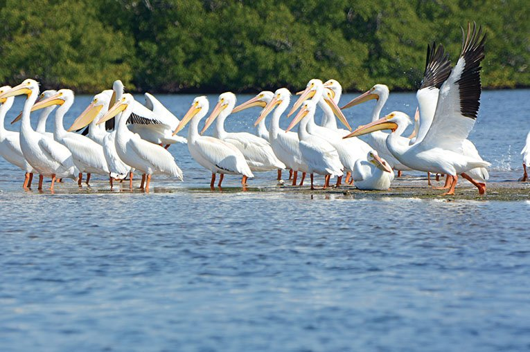 White Pelicans 2 Ding Darling Refuge Jason Boeckman Original Copy