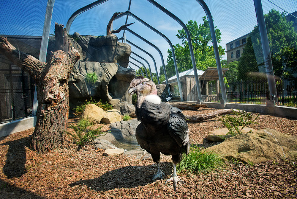 National Aviary Andean Condor Male Lurch Denmarsh Photography