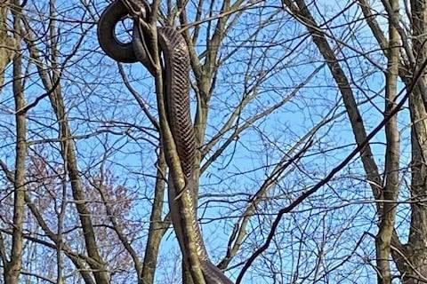 Snakethumb