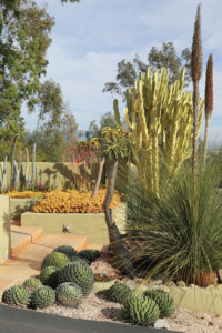 In Patrick's entry garden, Queen Victoria agaves,Dasylirion longissimum(in bloom) and yellow-greenEuphorbia ammak'Variegata' serve as striking examples of mature landscape succulents.