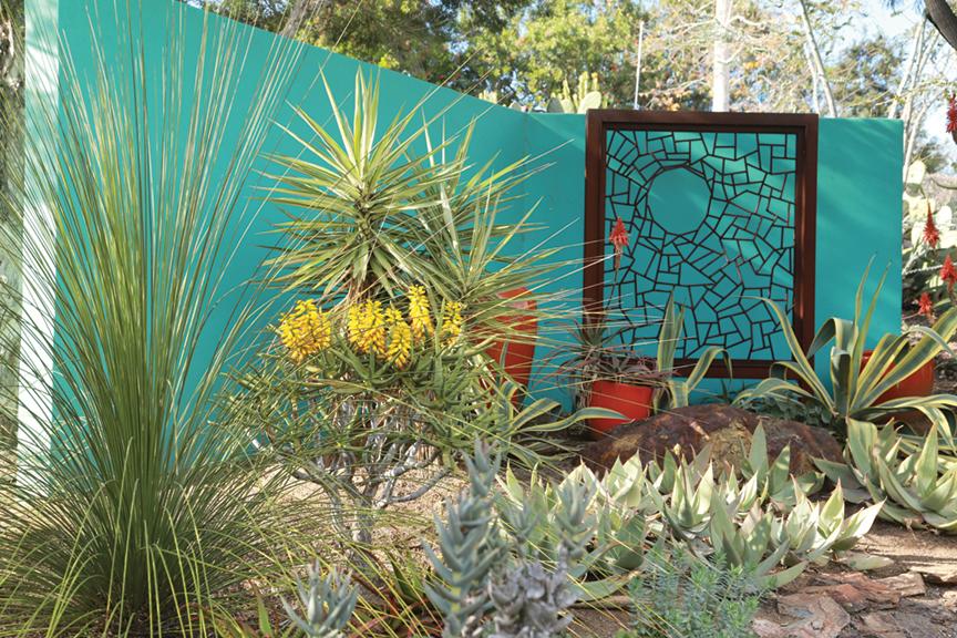 Aloe dichotomais the focal point of a terrace bed that includes blue ceroids and orange stonecrop (Sedum nussbaumerianum).