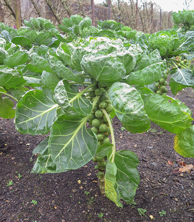 new year's garden resolutions brussels sprouts