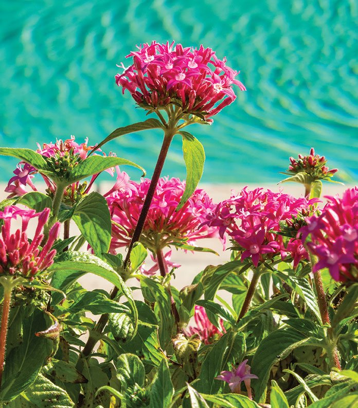 floral garden red star clusters flowers poolside