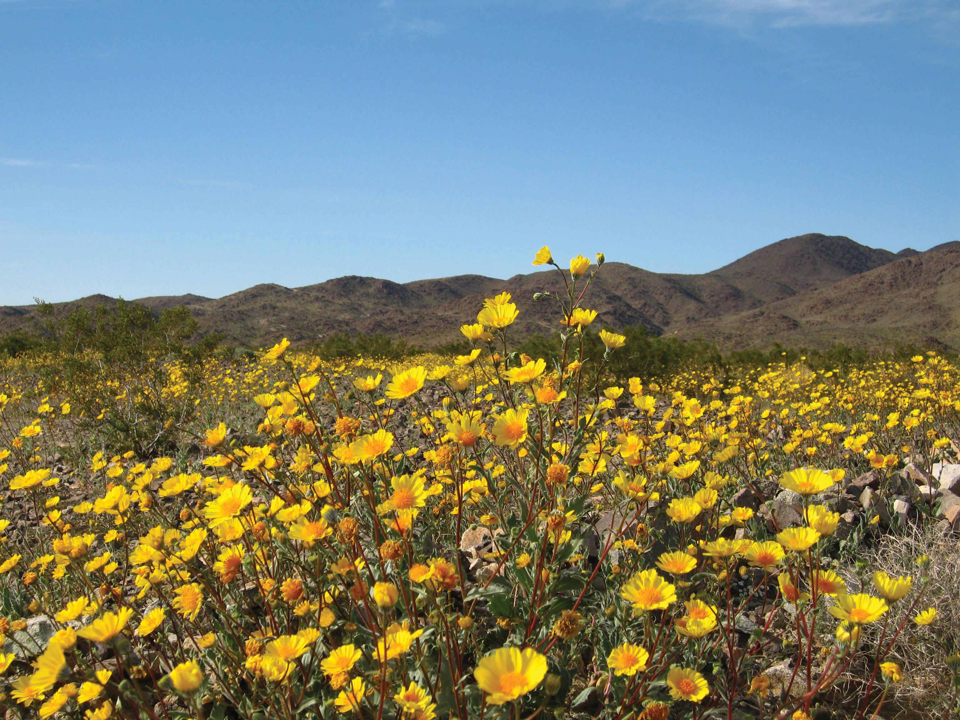 florencia gomez gerbi joshua tree national park hairy desert sunflower