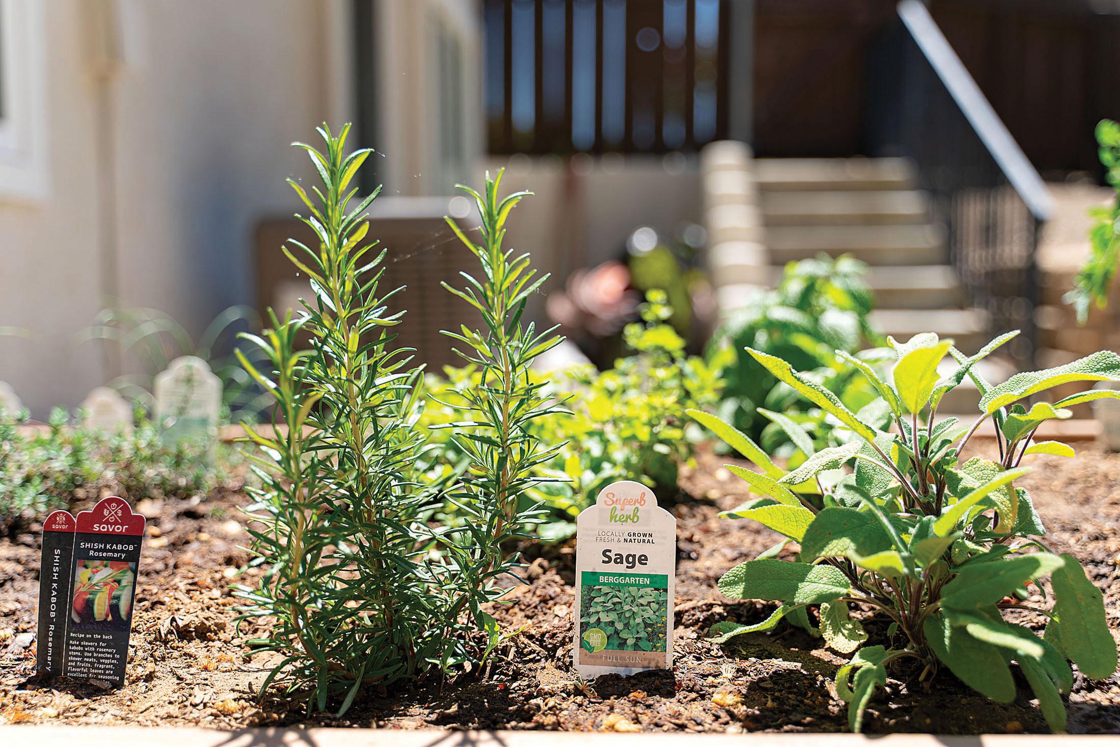 sage herbs kitchen garden