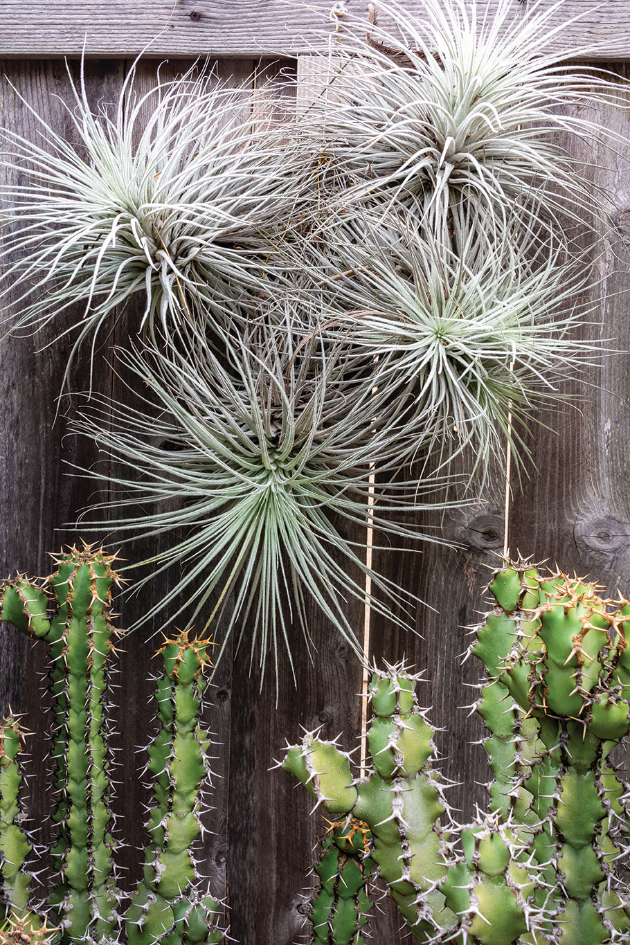 air plants outdoors attached to fence