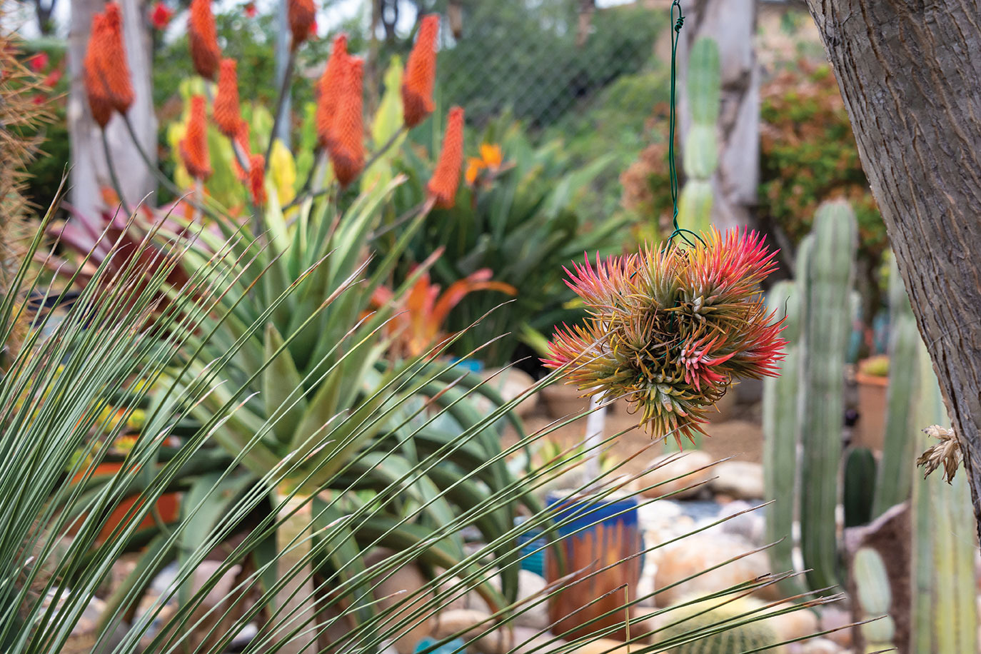 air plants outside outdoors