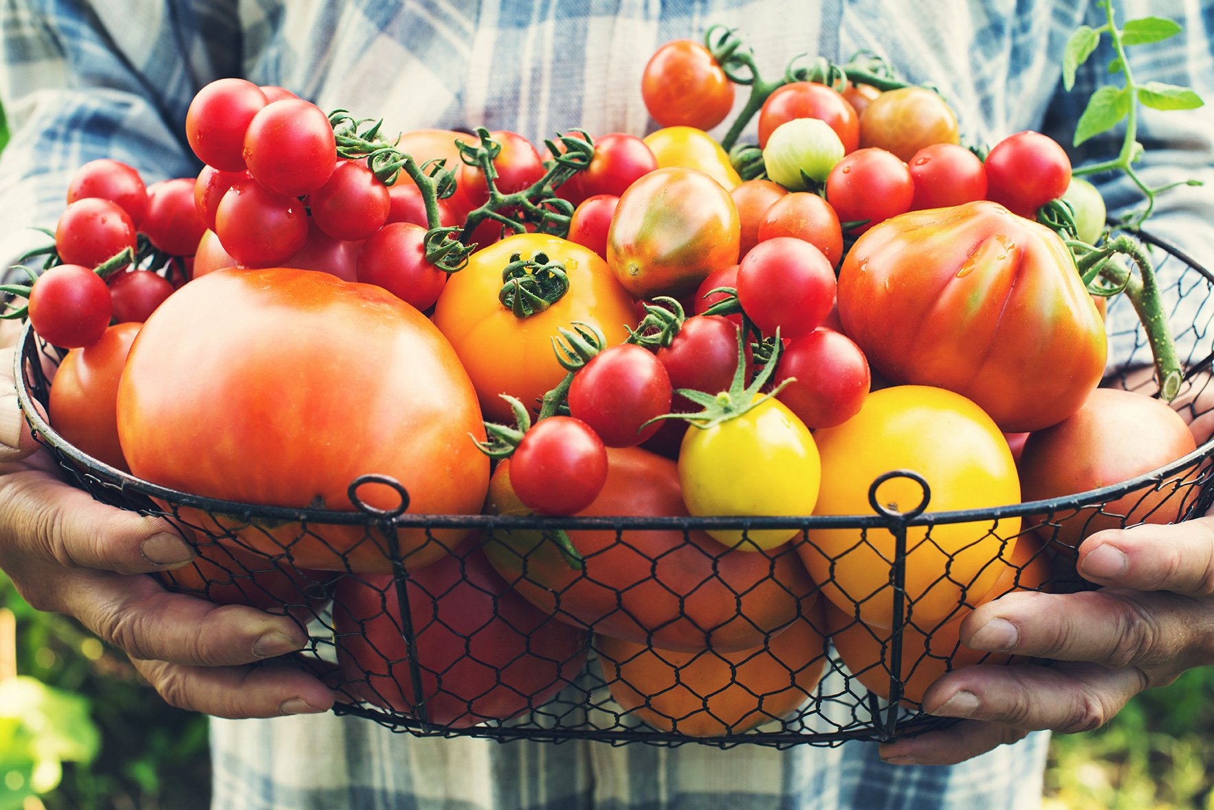 tomato yield gardening harvesting tomatoes