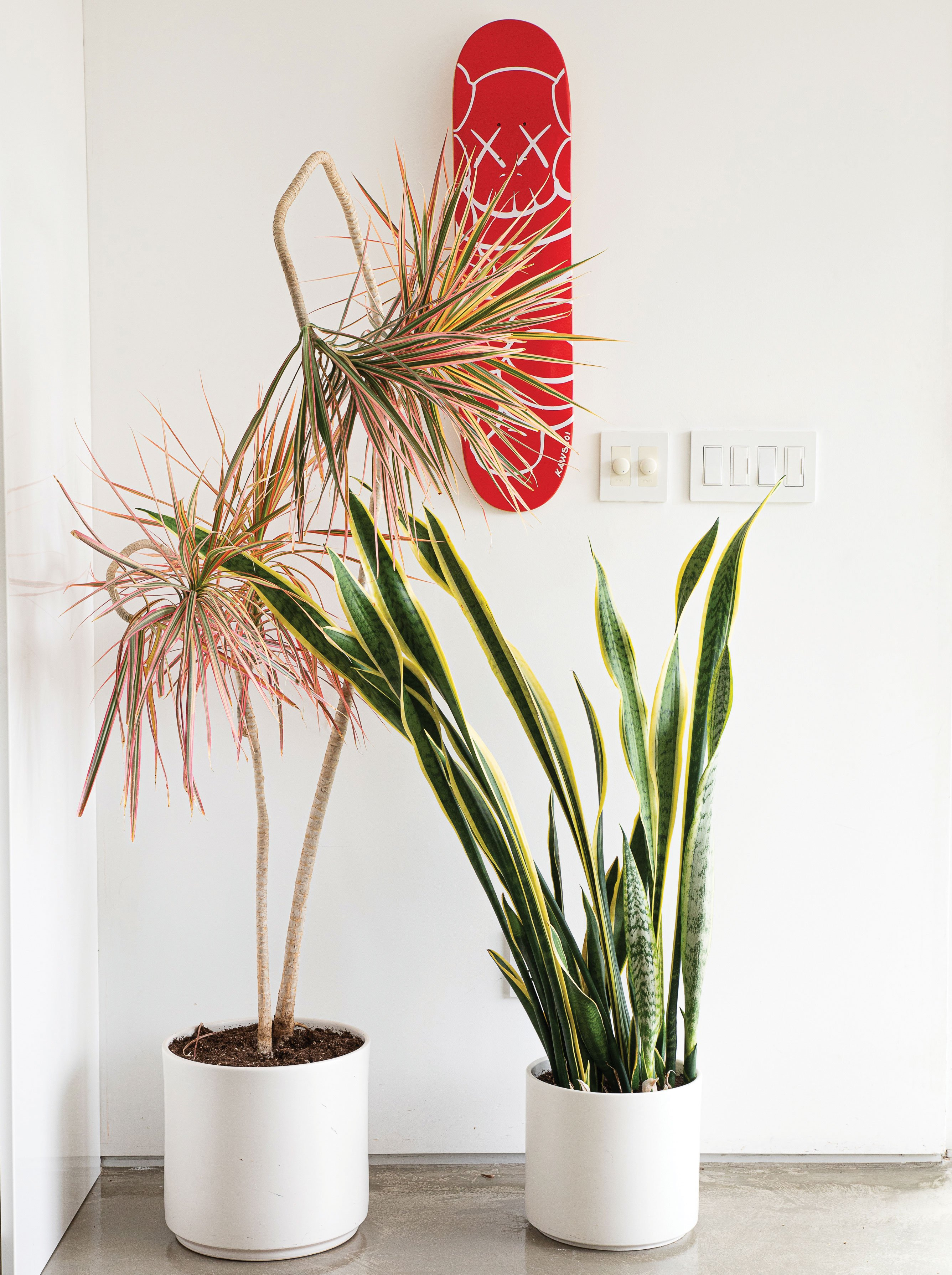 houseplants tricolor dracaena marginata and sansevieria mother in law's tongue snake plant