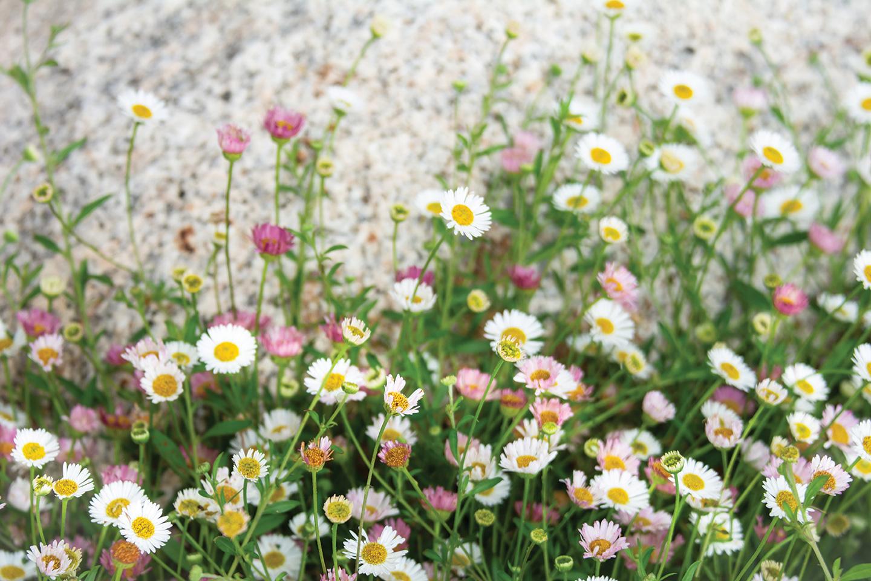 cottage garden santa barbara daisies daisy flowers year-round bloom