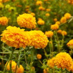 easy color flowers marigolds
