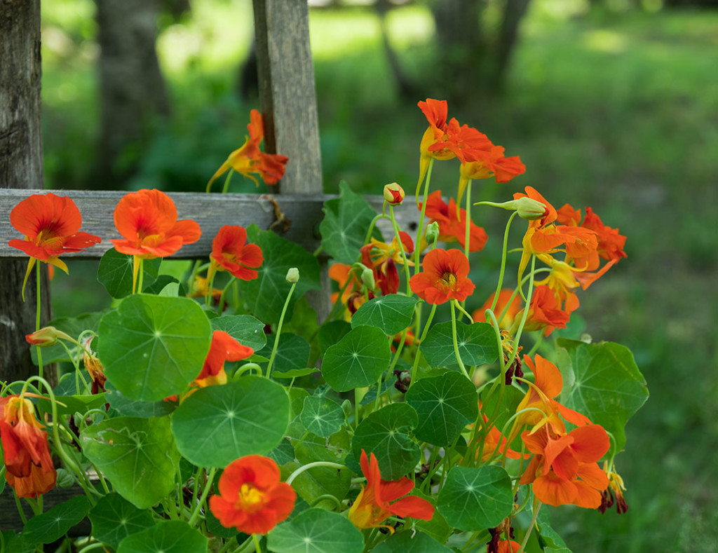easy color flowers nasturtium