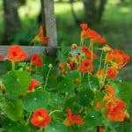 easy color flowers nasturtium