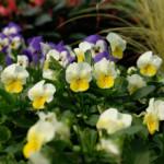 easy color flowers pansies