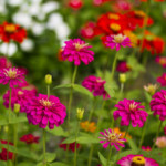 easy color flowers zinnias