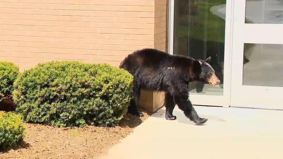 Wlos Bear Wanders Town