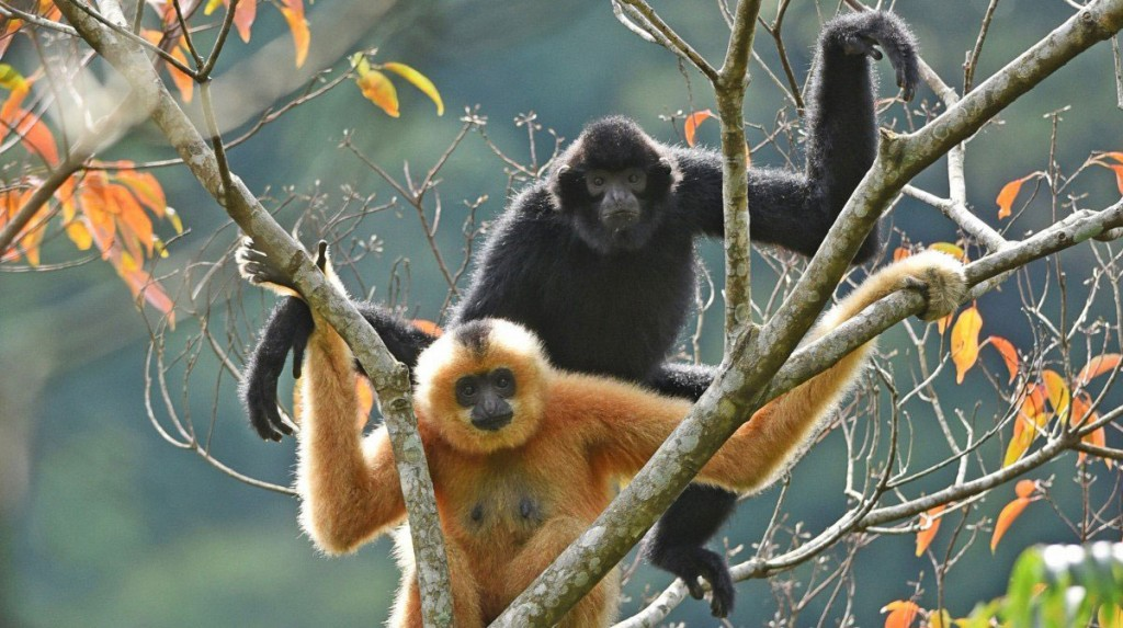Endangered Hainan Gibbons