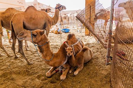 Camels 115481511 S