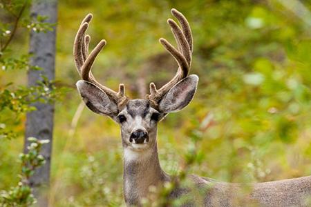 Deer 10671580 S