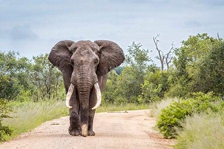 Elephant 100262263 S