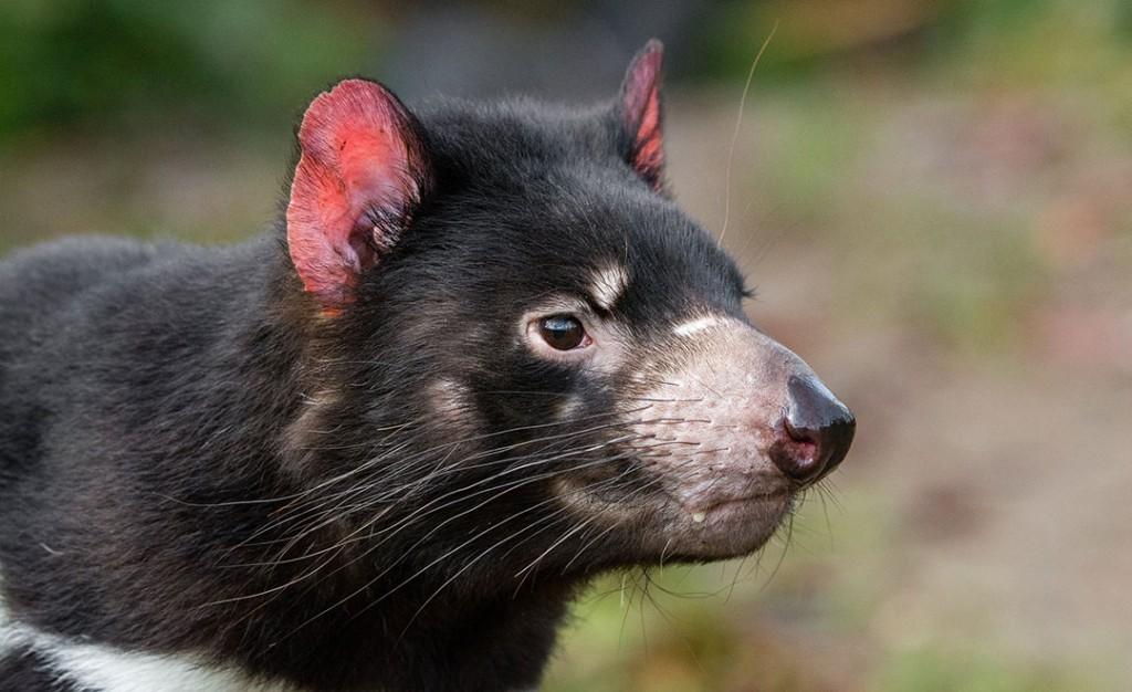 Mathias Appel Tasmanian Devil
