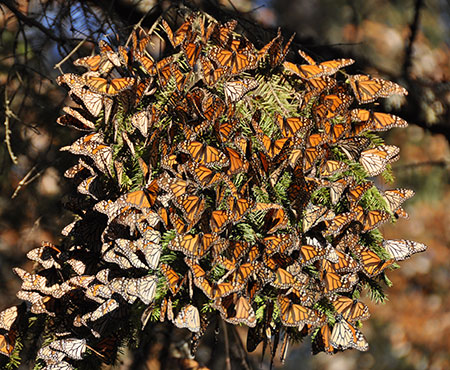 Monarch Butterflies D. Andre Green Ii Cc By Nd