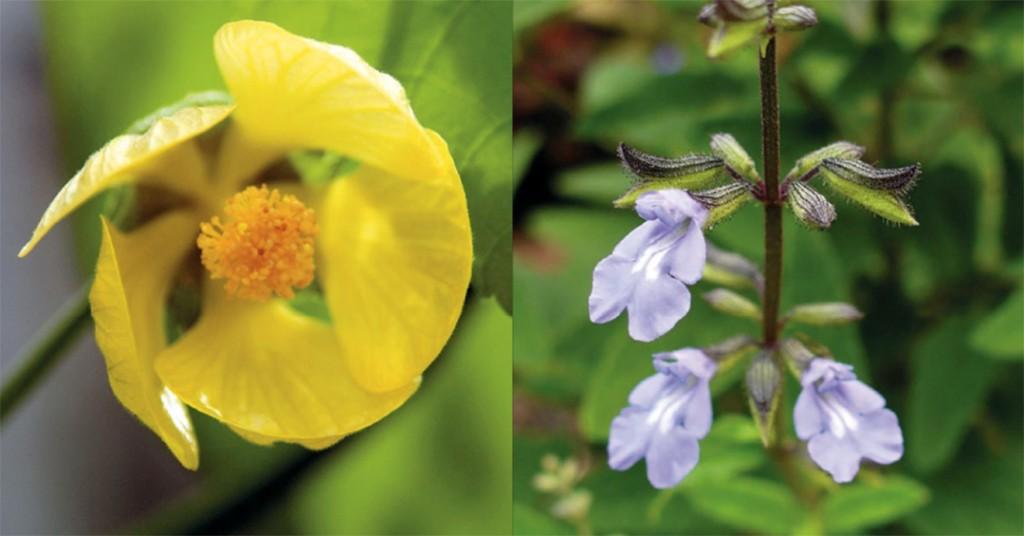 Pitcairn Islands Yellow Fatu And Cayman Sage Rbg Kew