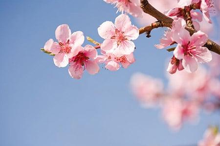 Cherry Blossom 13119450 S