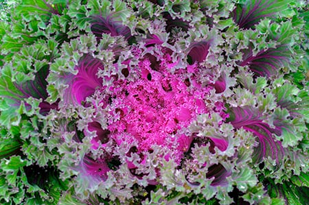 Pink and green bunch of Kale Vitamink