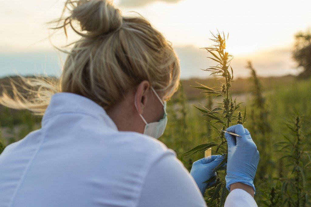 Scientist With Tweezers Taking Samples And Observing Cbd Hemp Plants On Marijuana Field