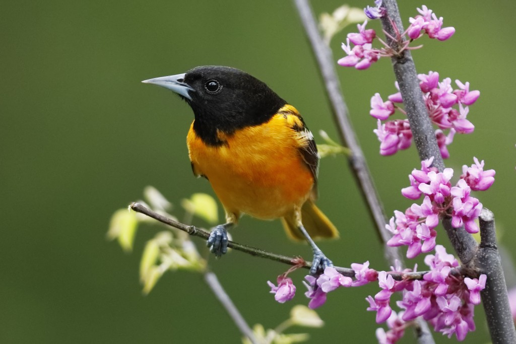 Male Baltimore Oriole Perched In A Flowering Eastern Redbud