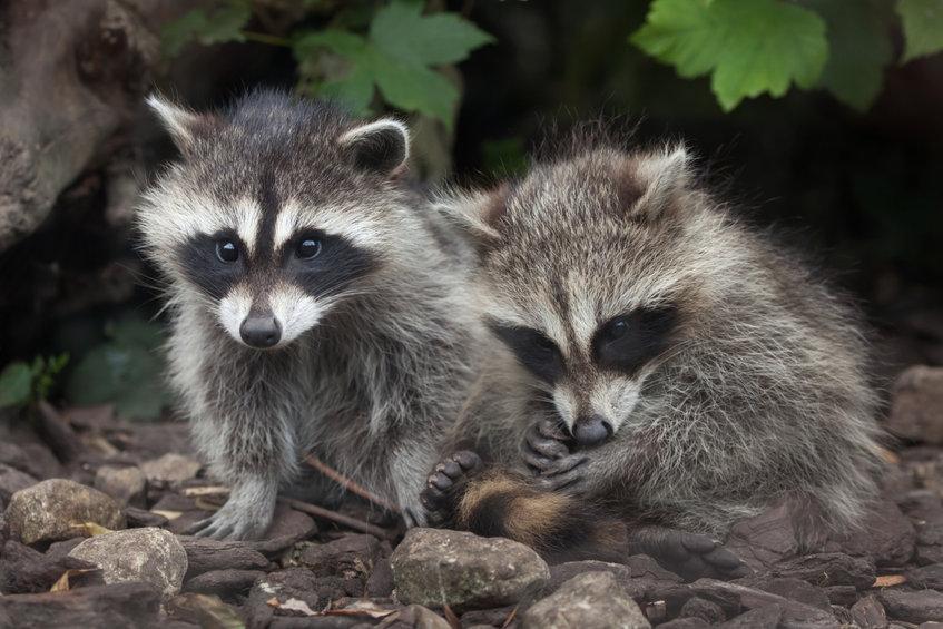 Raccoon (procyon Lotor)