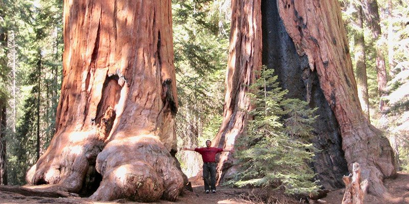 Worlds Fifth Largest Tree Now Safe From Loggers Ecowatch