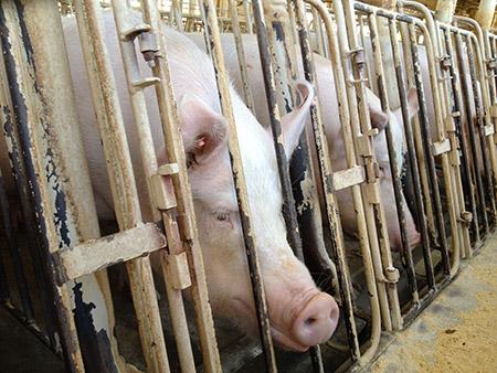 Hsus Pigs