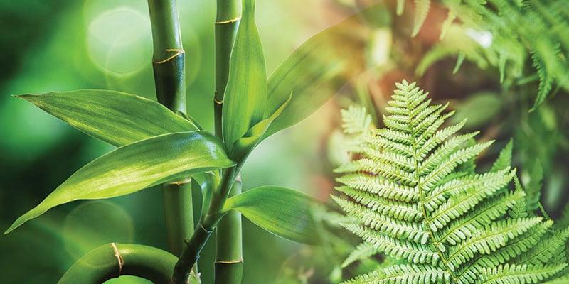 Bamboo Fern