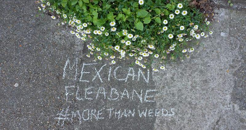 Mexican Fleabane Sophie Leguil