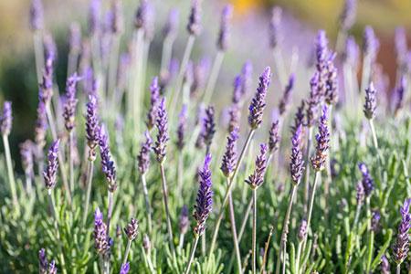 Lavender 119369877 S