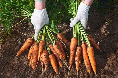 Carrots 26745880 S